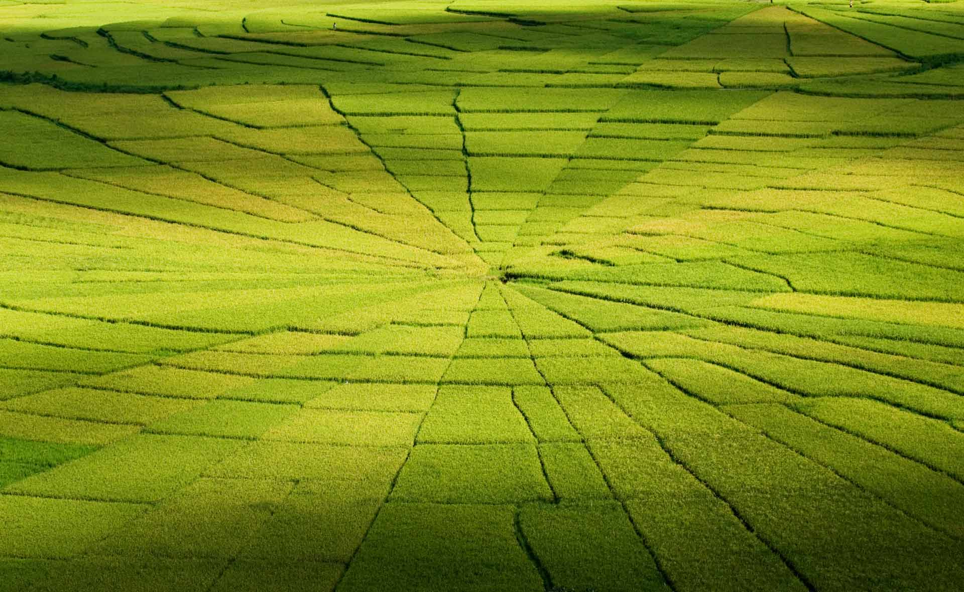~ ~ ~ rice field like spiderweb ~ ~ ~