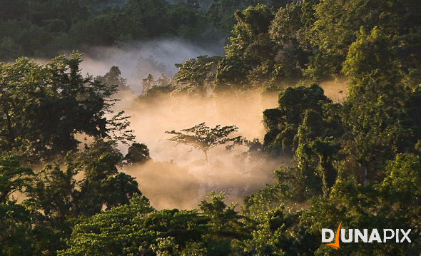 Mist envelopes a rainforest tree, recalling the lungs of the earth