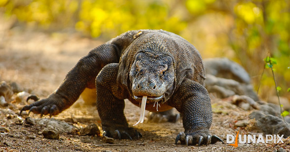 Komodo Dragon Photo, Djuna Ivereigh